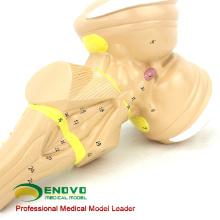 Modelo anatômico plástico do brainstem de uma comunicação do paciente hospitalizado de BRAIN22 (12405)