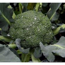 HBR02 Zhici F1 semillas híbridas de brócoli