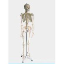 Esqueleto Médico-Educacional Modelo-Humano