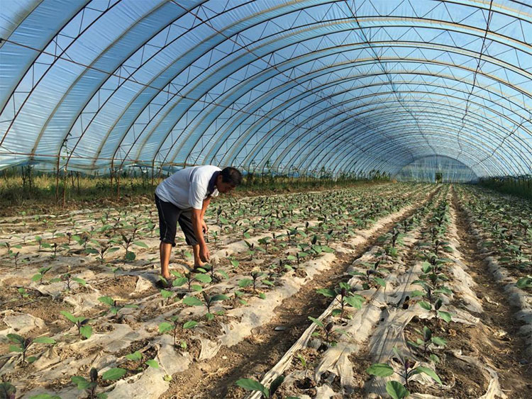 Tunnel Plastic Film Greenhouse