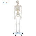 180CM Tall Life Size Human Skeleton Model