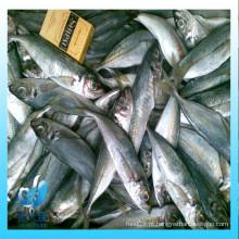 Uma grande quantidade de peixes congelados da cavala do pacífico