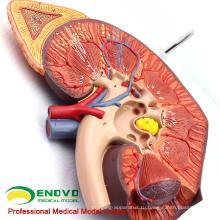KIDNEY01(12430) увеличить медицинских наук человеческих органов модель, Анатомия надпочечников