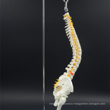 Factory price wholesale hot sale spine model