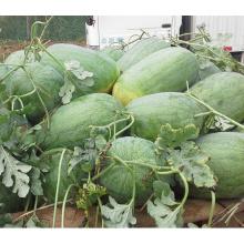 HW04 Desi grande sementes de melancia híbrida F1 verde oval em sementes de hortaliças