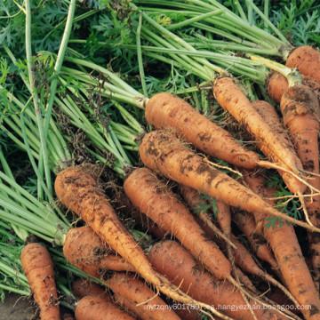 HCA01 Yanji OP semillas de zanahoria china para plantar