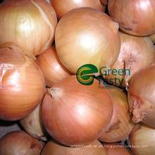 Cebolla amarilla entera fresca de alta calidad