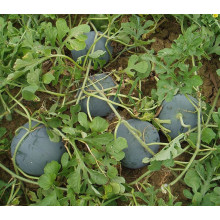 HW02 Geren big round dark green F1 hybrid seedless watermelon seeds for planting