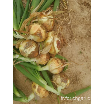 Tailles 5.0-7.0cm New Crop Yellow Onion