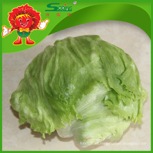 Yunnan frutas y verduras frescas Lechuga orgánica