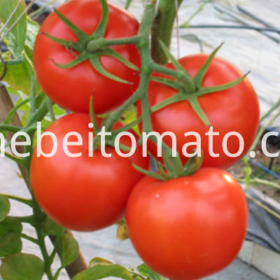 Tomato Paste with high quality Tomatoes