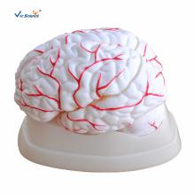 Modelo de anatomia cerebral com artérias
