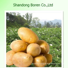 2015 Fresh Potato with Competitiveprice, 150g, 200g, 250