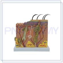 PNT-0552-1 Meilleur vendeur Anatomie de grande taille formation de la peau humaine modèle