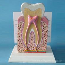Modèle de structure des dents normales humaines pour la démonstration