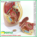 SELL 12472 Human Full Size Female Pelvis Section w/ Anatomical Model