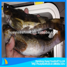 fresh frozen fat greenling seafood
