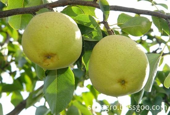 Organic Golden Crown Pear