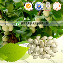 Cure Cough High Quality Herbal Medicine Ginkgo