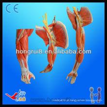 Modelo de braço ISO com vasos e nervos principais, modelo de músculos anatômicos