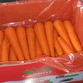 Bonne récolte de carottes fraîches