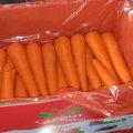 Boa colheita de cenoura fresca