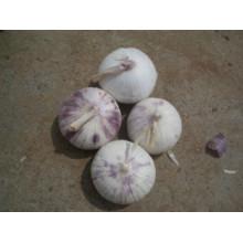 Fresh Solo Garlic (4.0-4.5cm)