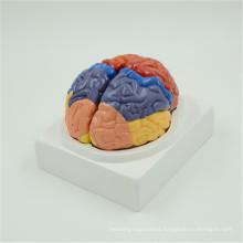 Hot items anatomical brain