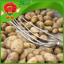 high quality fresh yellow potato on sale
