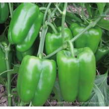 HSP23 Semillas pequeñas de pimiento dulce / pimiento híbrido F1 verde brillante de Cufa en semillas de hortalizas