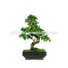 China fornecer árvore velha bonsal para venda com preço razoável pote bonsai para decoração