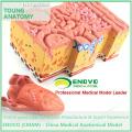 TONGUE01 (12532) Tongue Anatomical Model para estudo de anatomia humana