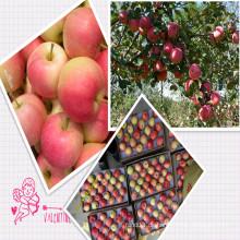 Verkauf Frische Gala Apfel zu allen um die Welt