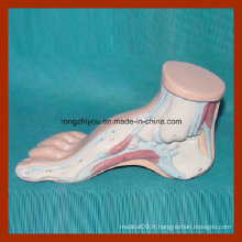 Modèle de pied anatomique humain à pied humain modèle de pied anatomique humain