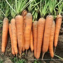 HCA08 Bianer 20 à 25cm de longueur, graines de carotte Op dans les graines de légumes