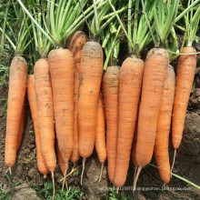 HCA08 Bianer 20 to 25cm in length,Op carrot seeds in vegetable seeds