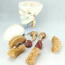 SKULL01-1 (12327) Medical Science Anatomy Nervo Craniano Modelo Crânio Plástico