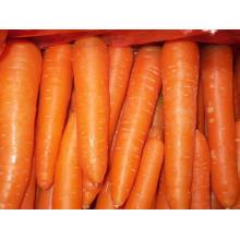 New Crop Fresh Carrot (L grade)