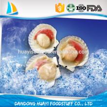 Concha de concha de qualidade superior