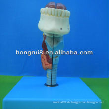 ISO Life Größe medizinischen Kehlkopf Modell, Kehlkopf mit Zunge und Zähne