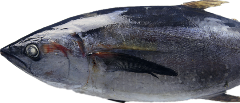 Whole Round Sea Frozen Tuna