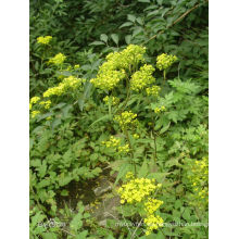 100% Natural Dahurian Patrinia Herb P. E