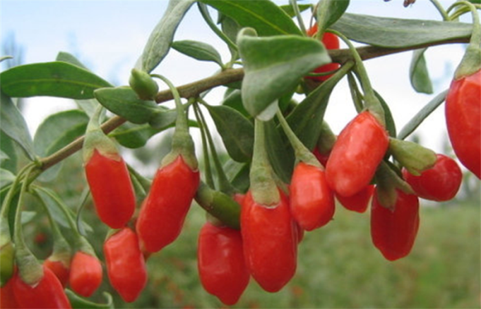 High Quality Certified Hot sale Organic goji berry
