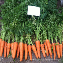 RCA02 Reyou cinq pouces graines de carotte chinois à vendre
