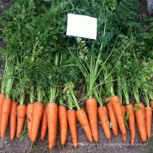 RCA02 адррес reyou пять дюймов китайский моркови семена на продажу