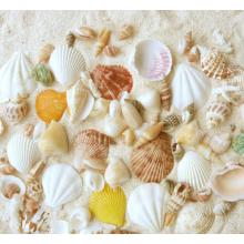 Coquille de mer mélangée normale emballée par sac pour la décoration