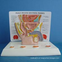 Modelo de demonstração anatômica médica genital feminina