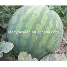 MW11 Shenwen listra profunda sementes de melancia sem sementes híbrido china