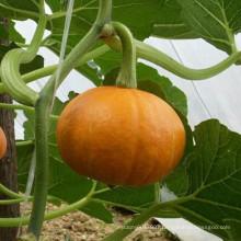 HPU06 Jiushi round deep red F1 hybrid pumpkin seeds