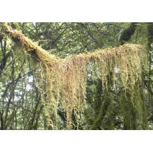 Tillandsia Usneoides Herb Pó De Kingherbs